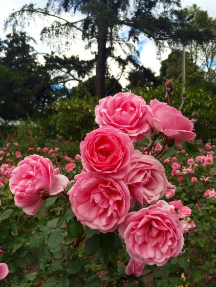 The 'Jardin Botanico de Quito' has a beautiful rose garden...