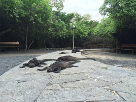 Would make a great B movie: 'The invasion of the tourist-blood-seeking iguanas'