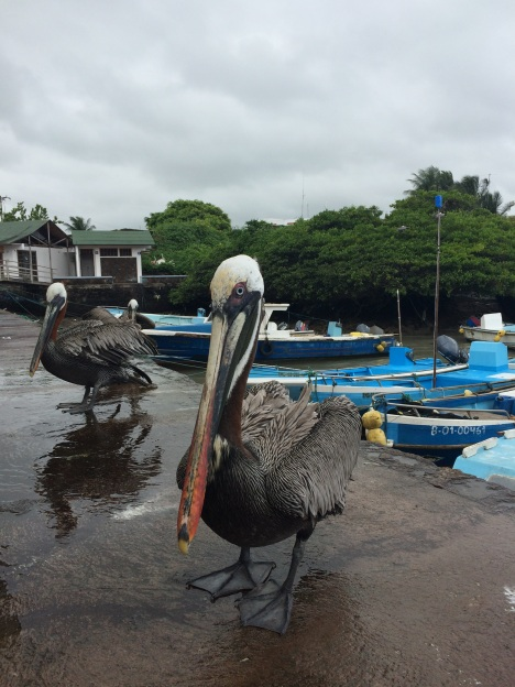 A lot of care is put into avoiding that human interaction alters wildlife behavior, but these Pelicans have figured out the benefits of hanging around the fish market