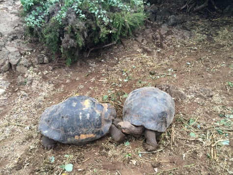 Different species of Galapagos turtles have evolved to suit specific environments: the one on the left has a taller shell to reach higher vegetation, while the one on the right is more compact to go through thick vegetation