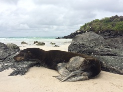 Sea lion playing its favorite sport (sleeping...), at 'Playa Puerto Chino' in San Cristobal
