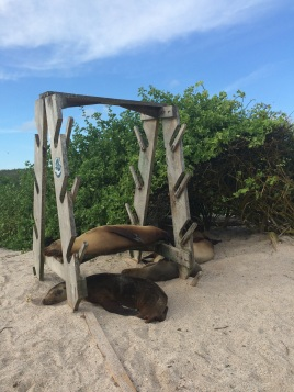 Sea lions sleeping (again) in a board rack at 'Playa La Loberia' in San Cristobal