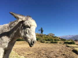 A pensive donkey at the top of the Colca Canyon