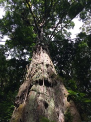 One of Panama's oldest trees is in the Quetzal Trail