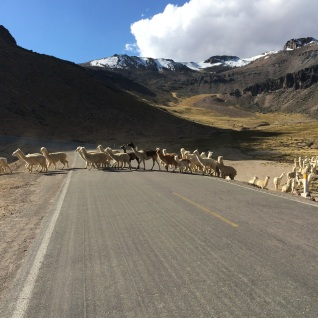 Llamas (the larger ones) and alpacas crossing the road. Alpaca wool has 22 natural colors, but white is the most sought out