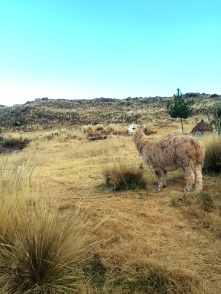 There's something with alpacas that makes us want to photograph them each time we see one!