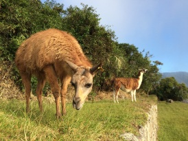 ... Or, to be more precise: it's gardeners: these llamas keep the Machu Picchu fields impeccably trimmed