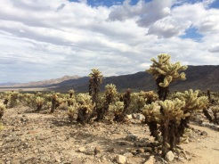 A garden of Cholla cactus