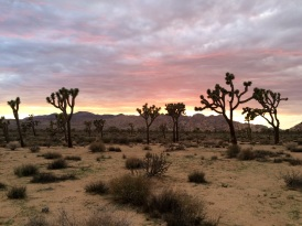Amazing sunset in the Joshua Tree Park, with the famous Joshua trees in the background