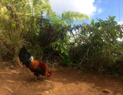 The are wild chickens everywhere, including the jungle...