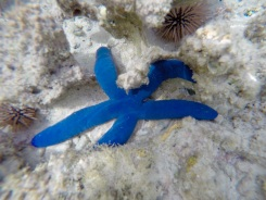 First time we saw a blue starfish!