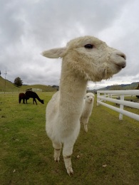 After visiting their home country Peru, we bumped into some alpacas again