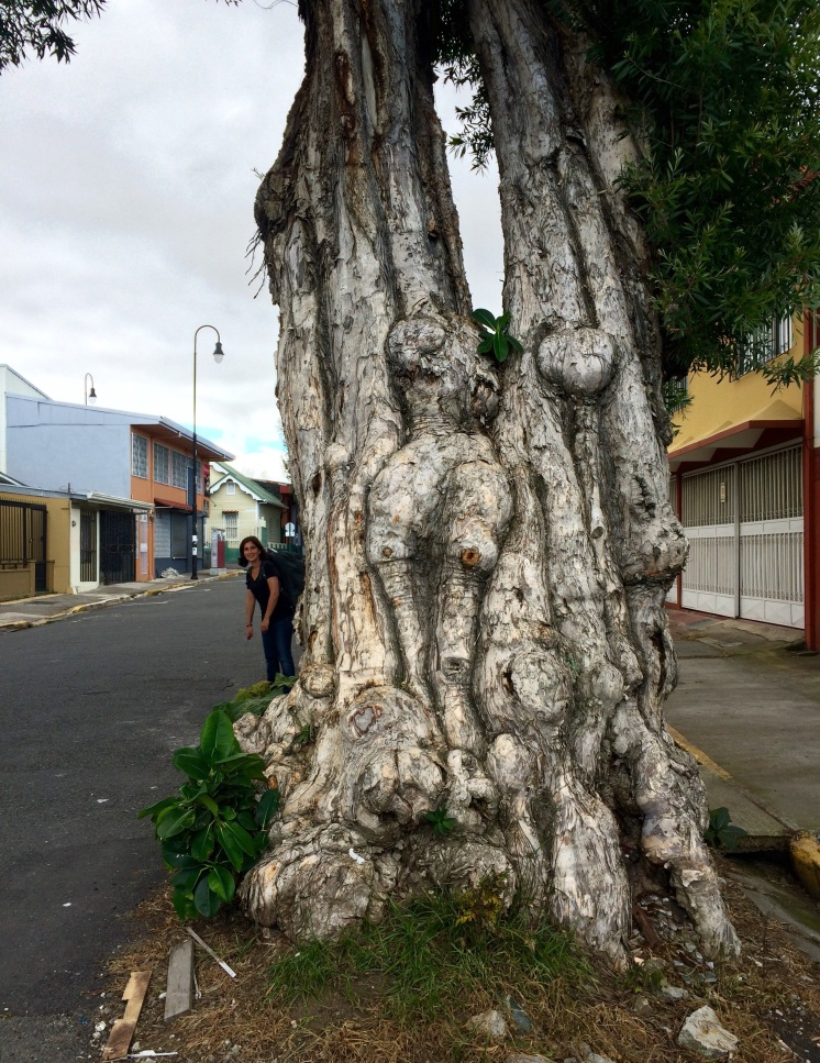 On our last day in San Jose, on our way to the airport we saw this weird looking tree. To us looked like a 'headless woman'