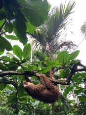 This is how sloths sleep: they don't have to use any muscles to hang from trees, so it's actually a comfortable position