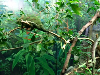 Where's Wally? This chameleon's shade of green is so similar to the leaves around that it's easy to miss