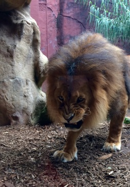 A very hungry and grumpy angry lion in the Taronga Zoo