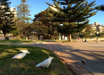 A group of unexpected cockatoos in a city park (no, the front one didn't eat the pigeon)