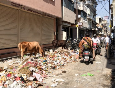 Cows rummaging through trash on a Jaipur backstreet