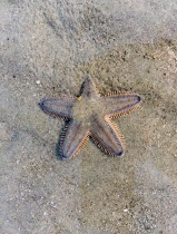 Less imposing, but more carnivorous, these starfish invade the shore on the low tide