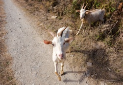 Curious goats near Monte da Vinha, Portugal (16mm, 1/420s, f6.4, ISO 200)