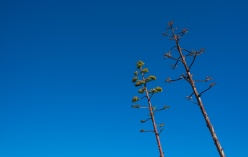 A pair of agave trees tilted by years of wind, Sagres, Portugal (16mm, 1/400s, f7.1, ISO 200)