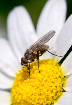 Tachinid fly on oxeye daisy (100mm, ring light, f11, 1/250s, ISO 500)
