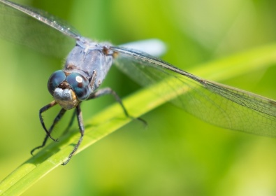 Dragonfly mating (135mm @ 0.3x magnification, f5.6, 1/340s, ISO 200)