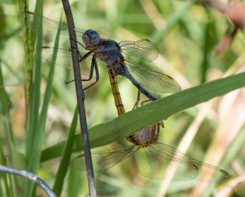 Two dragonflies mating (123mm @ 0.2x magnification, f11, 1/180s, ISO 320)