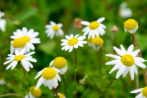 Field of oxeye daisies (116mm, f5.6, 1/240s, ISO 200)