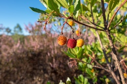 Medronho (strawberry tree) near Barranco do Velho, Algarve, Portugal (16mm, f5.6,1/210s, ISO 200, PPL1-Corrected)