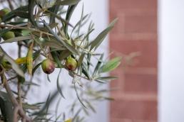 Olive tree in São Bartolomeu de Messines, Algarve, Portugal (16mm, f1.4, 1/80s, ISO 200, PPL1-Corrected)