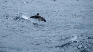 Dolphins swimming along the ferryboat, Pico, Azores (115mm, f5.6, 1/1700s, ISO 200, PPL1-Corrected)