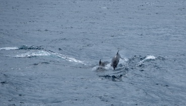 Dolphins swimming along the ferryboat, Pico, Azores (135mm, f5.6, 1/1700s, ISO 200, PPL1-Corrected)