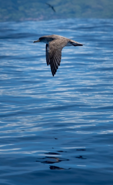 Cory's shearwater on our way to Corvo, Azores (135mm, f5.6, 1/1400s, ISO 200, PPL1-Corrected)