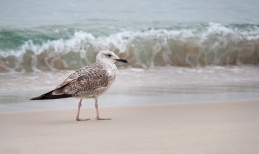 Juvenile yellow-legged gull (Larus michahellis), Playa de Rodas, Ciés Islands, Spain (PPL3-Altered)