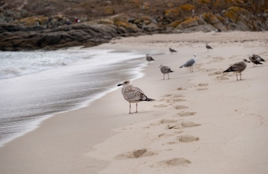 Juvenile yellow-legged gulls (Larus michahellis), Playa de Rodas, Ciés Islands, Spain (PPL3-Altered)