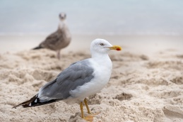 Juvenile and adult yellow-legged gulls (Larus michahellis), Playa de Rodas, Ciés Islands, Spain (PPL1-Corrected)